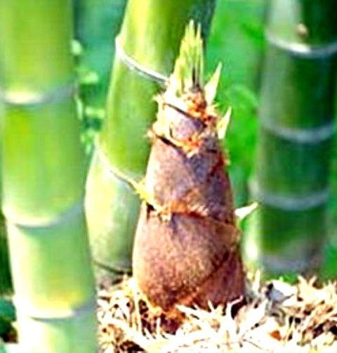 anak bambu